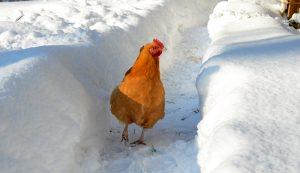 frostbite chickens