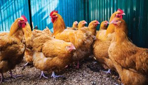 holistic henhouse chickens remedies coop