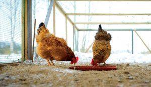 chicken nutrition feed diet winter