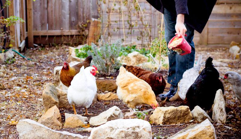 chicken sitter feeding care food
