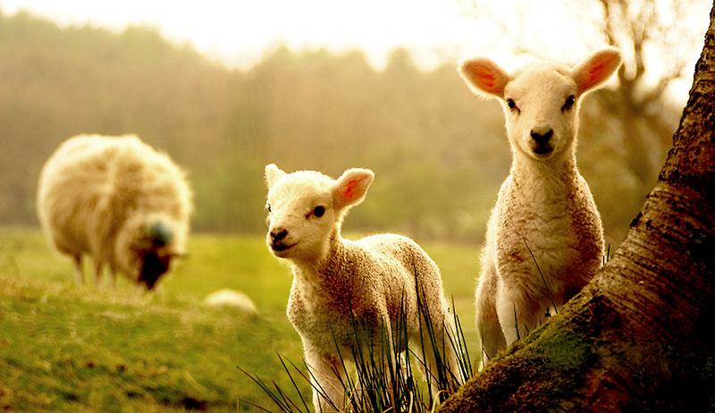 lambs sheep goats kids livestock pregnancy