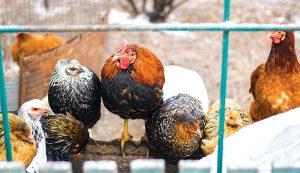 chickens boredom winter