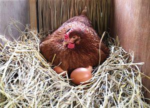 nest box chickens eggs best
