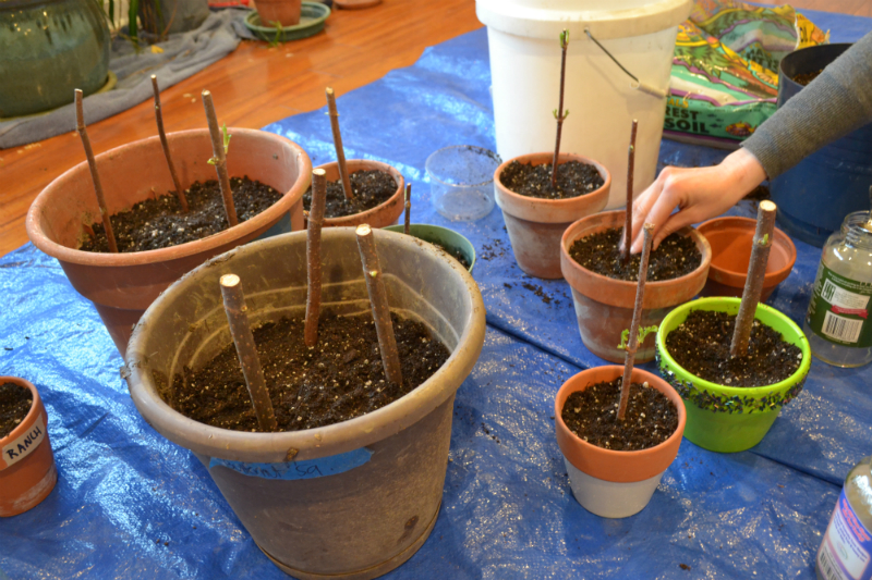 planting elderberry canes