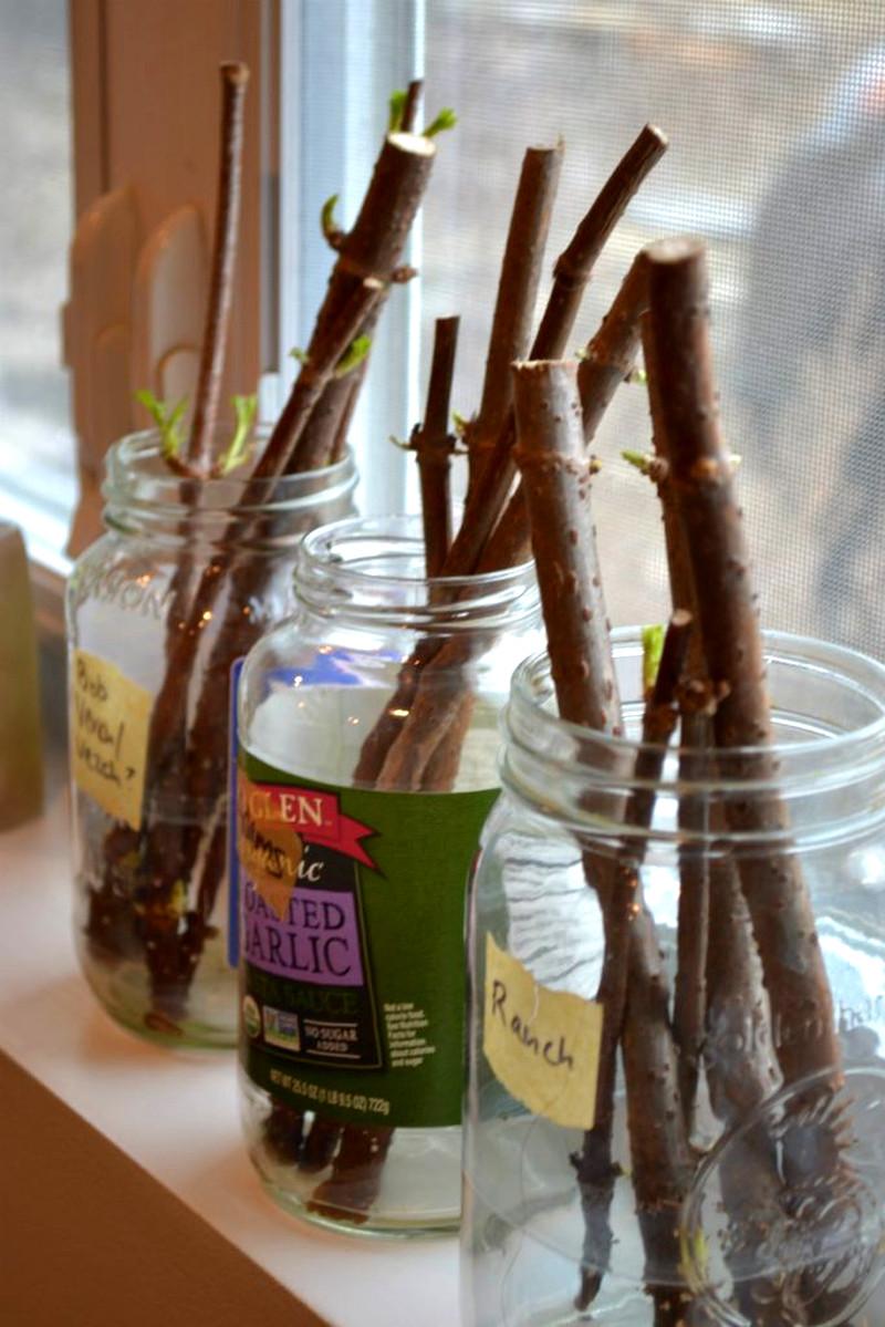 elderberry canes