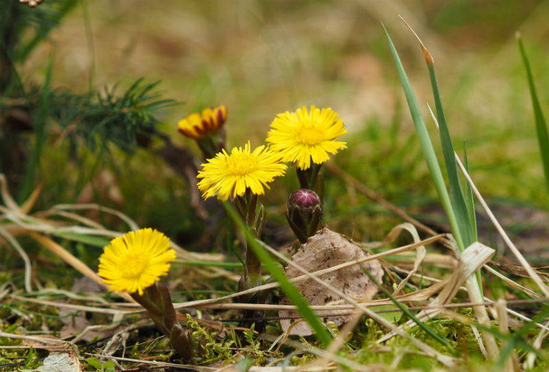 invasive coltsfoot