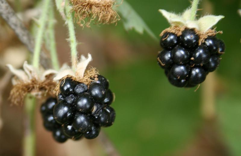 invasive Himalayan blackberry