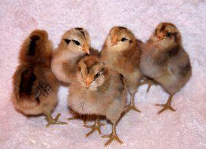 Easter Eggers chicks chick purveyor business