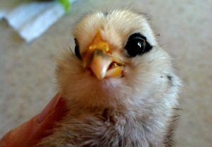 chicks scissor beak
