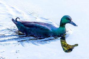 cayuga drake duck heritage breeds