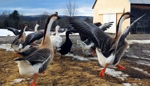 chinese geese heritage breeds