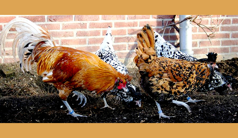 brabanter chicken breed