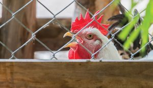 chickens fencing
