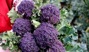 unusual broccoli varieties