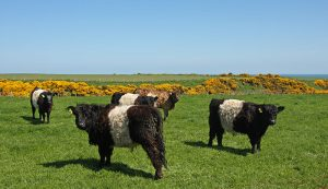 belted galloway cows endangered livestock species