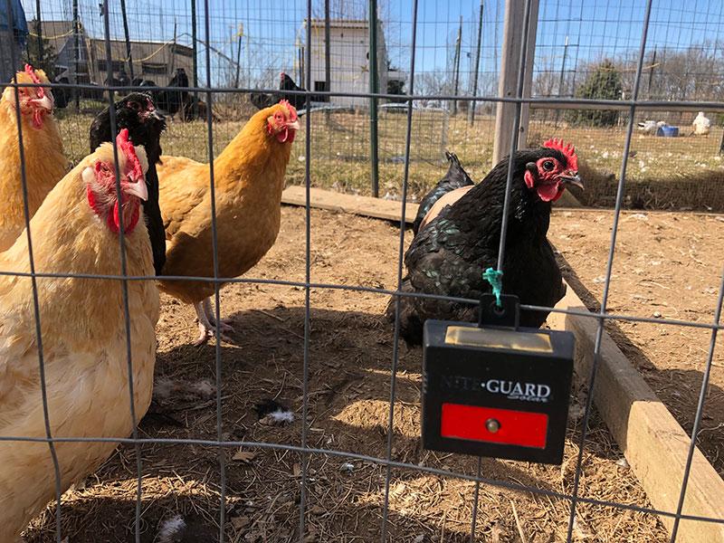 chicken Nite Guard