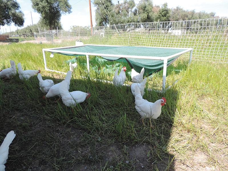 chicken coop shade structure