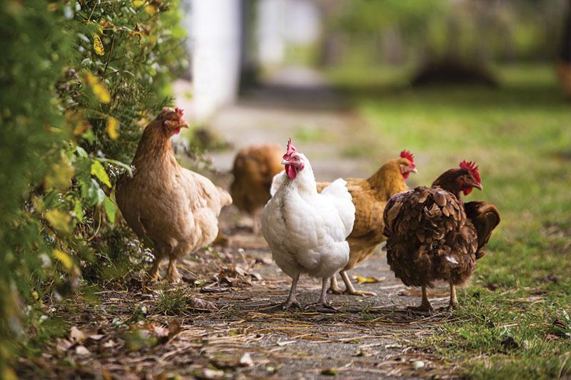 urban suburban chickens