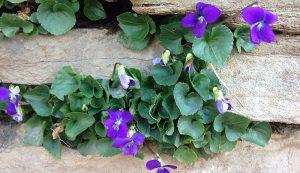 best edible flowers