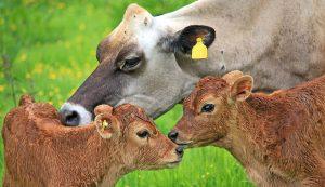 cow calves pregnancy problems