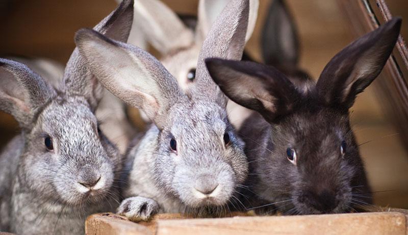 rabbits profitable
