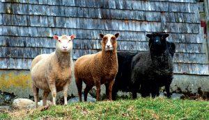 livestock breeds sheep