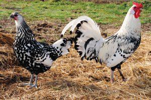 livestock farms hamburg chickens