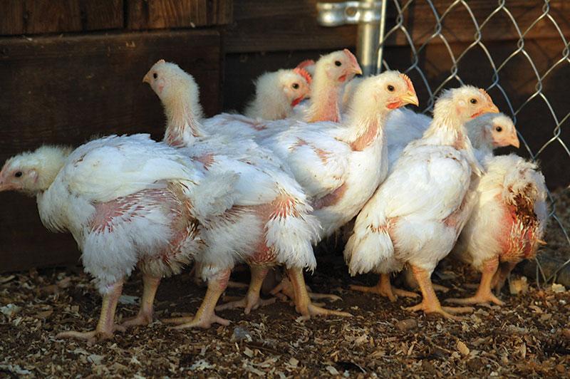 livestock breeds cornish cross chickens