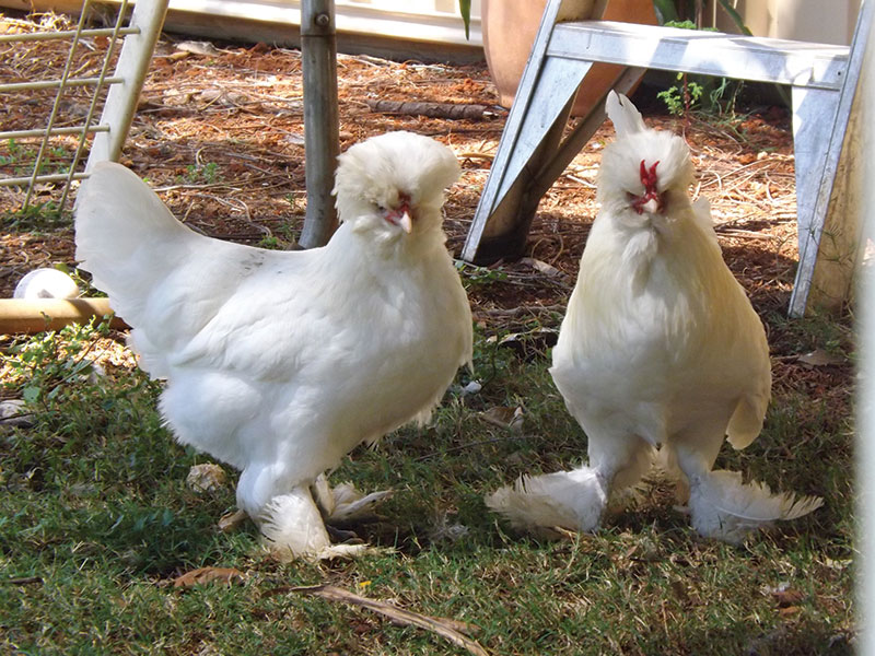 livestock breeds sultan chickens