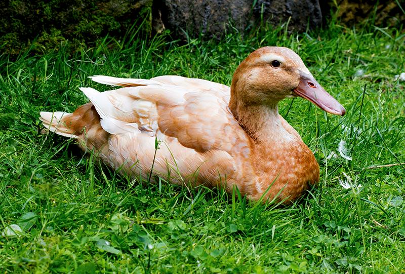 livestock breeds buff orpington duck