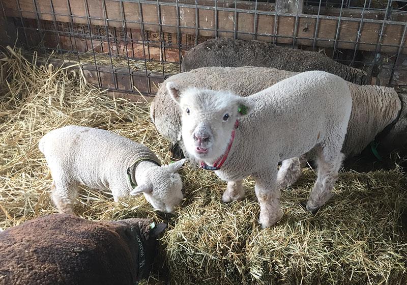 livestock breeds babydoll southdown sheep
