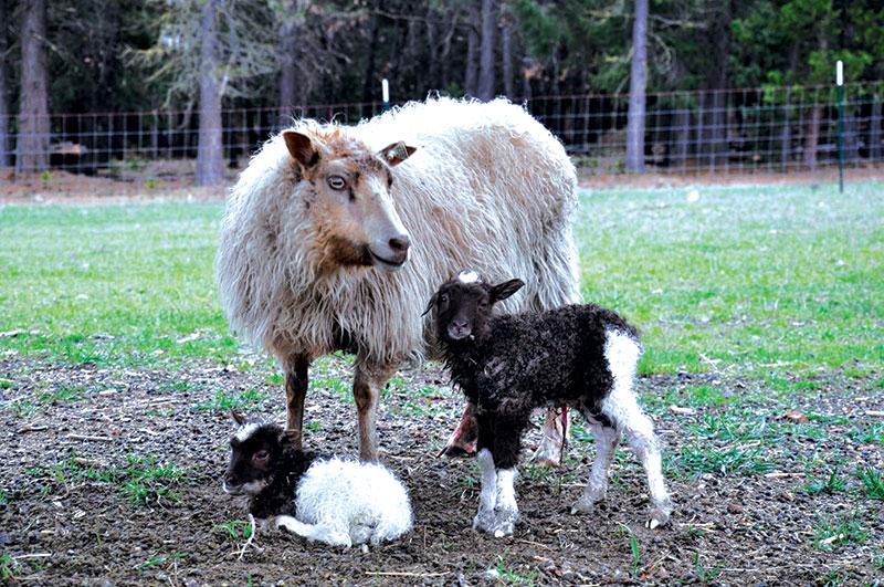 livestock breeds icelandic sheep