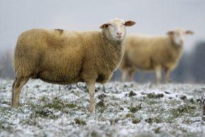 livestock east friesian sheep