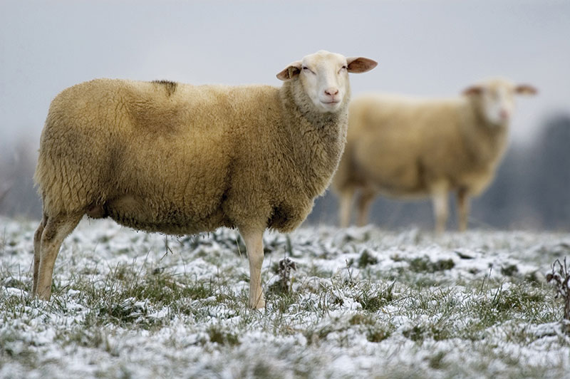 livestock breeds east friesian sheep