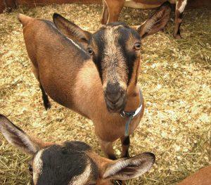 livestock alpine goats hay feeding