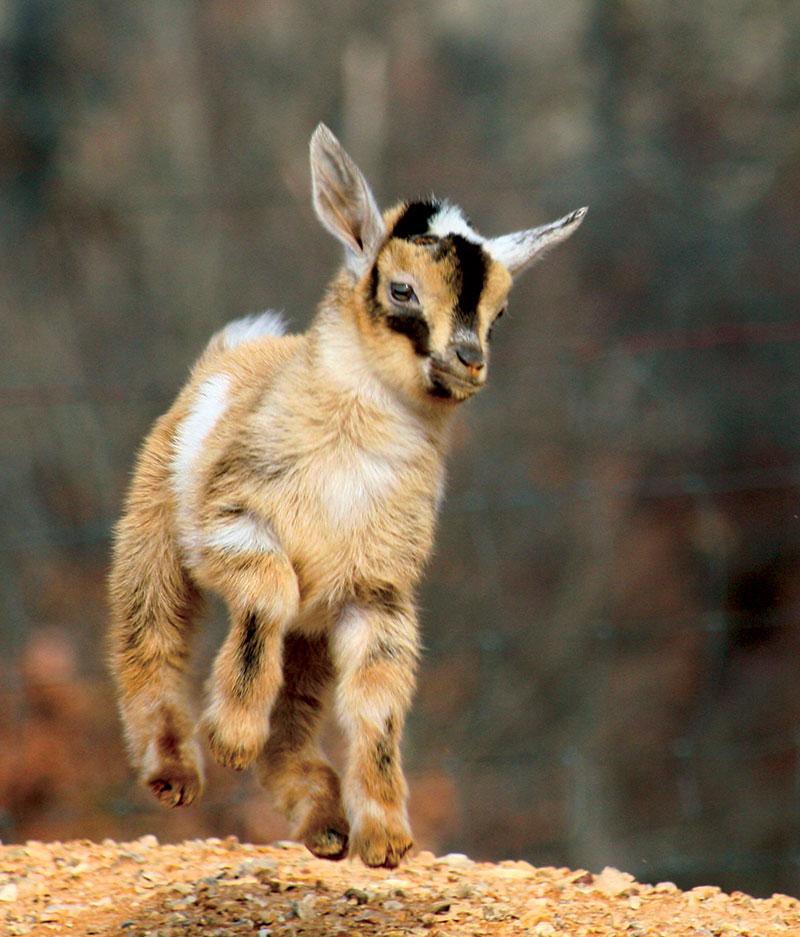 livestock breeds nigerian dwarf goats