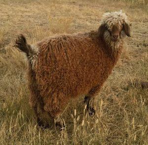 livestock angora goat