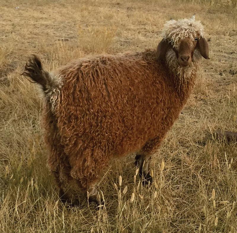 livestock breeds angora goat