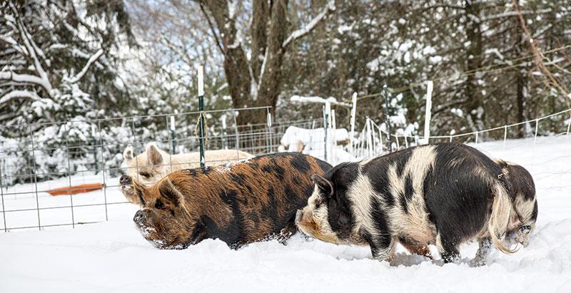 livestock breeds kunekune hogs pigs
