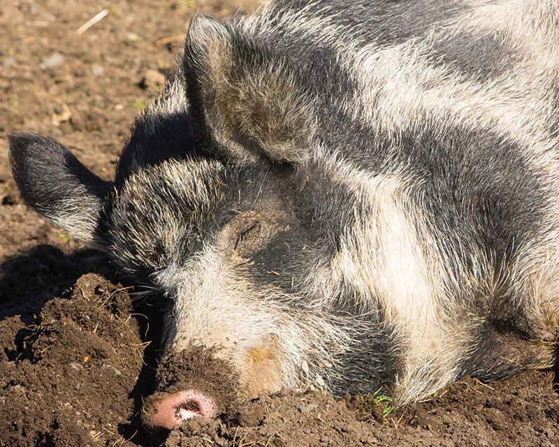 livestock breeds ossabaw island hogs pigs