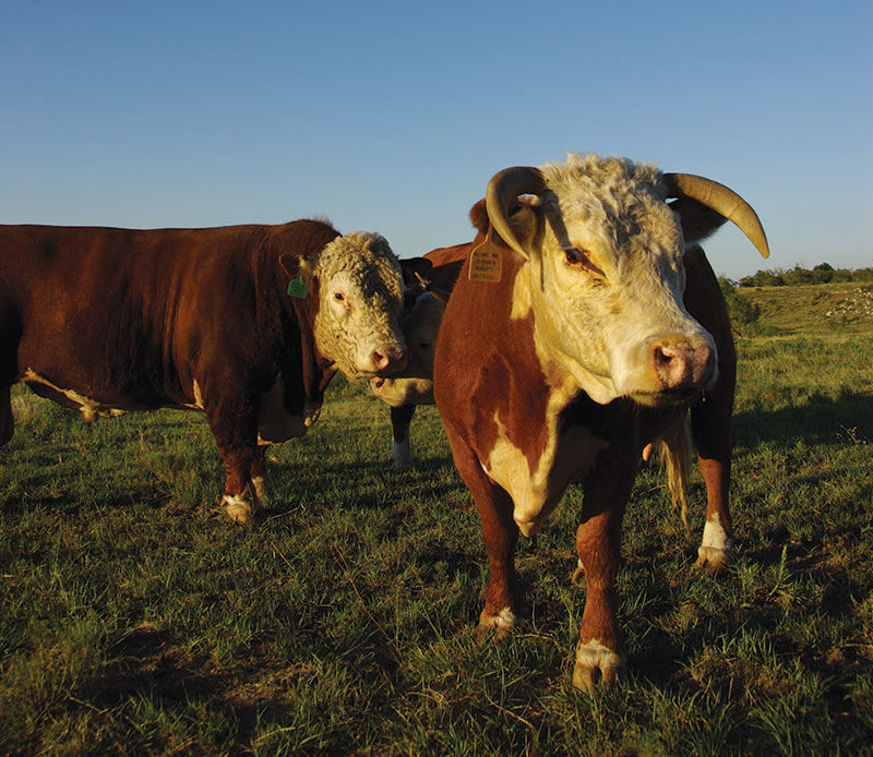 livestock breeds mini hereford cattle cows