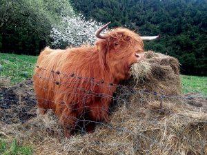 cattle hay feeding highland cow