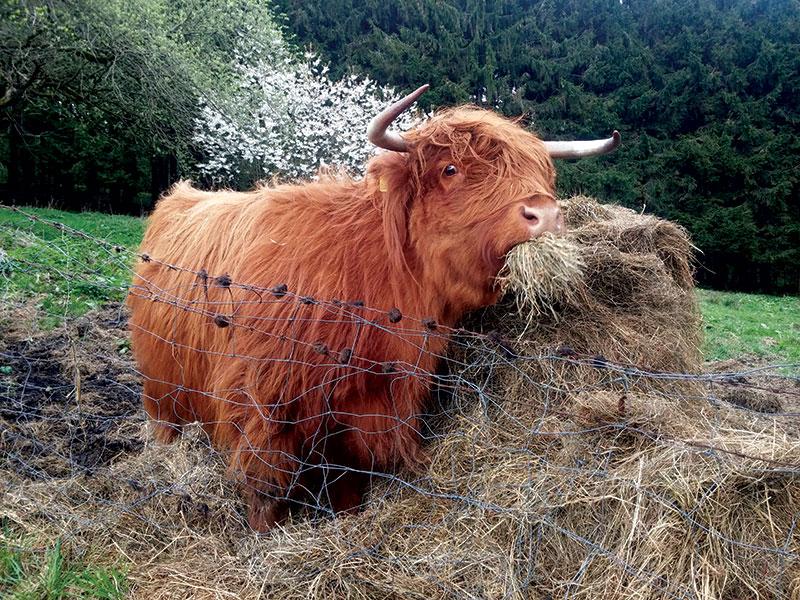 highland cattle breeds cows livestock