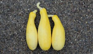 start squash from seed or transplants
