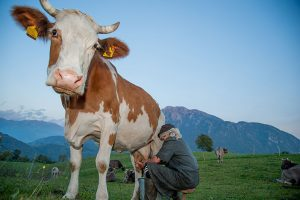 hobby farmers real milking cow