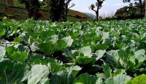 succession planting vegetables