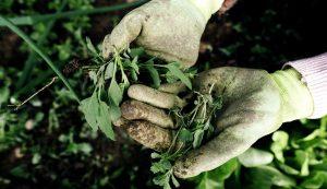 pulling weeds weeding strategies