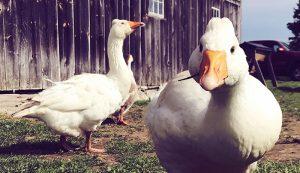 waterfowl geese goose housing