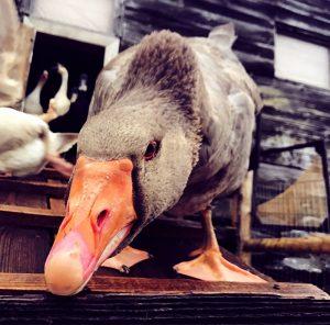 goose housing waterfowl
