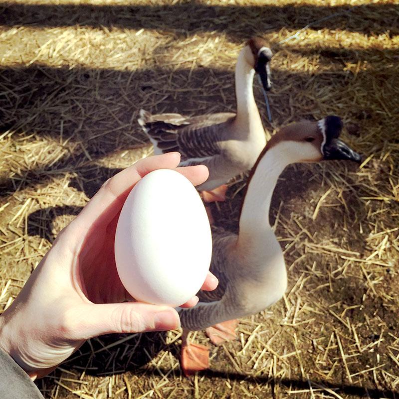 goose geese housing egg eggs